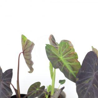 Colocasia